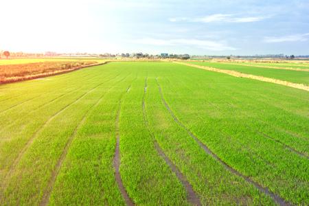 landscape of farm rice cornfield in Thailand