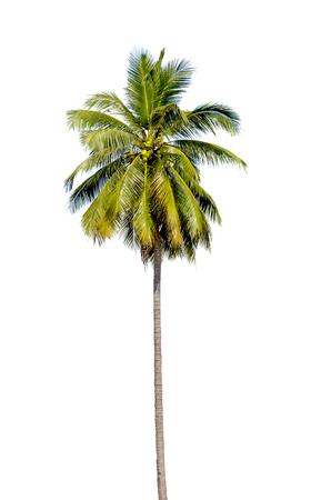 Cocoanut tree isolated on white background