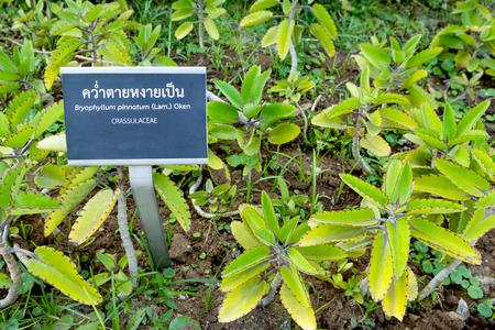 Bryophyllum pinnatum in garden,herb plant