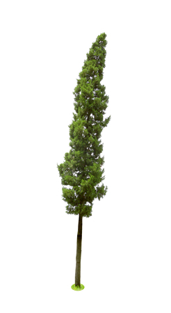 pine trees tropics isolated on white background,CUPRESSACEAE,Juniperus Chinensis L. Stock Photo
