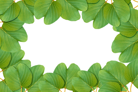 pes caprae: Green leaves pattern, autumn plant leaf isolated on white background,Goats Foot Creeper,Ipomoea antidote jellyfish,Ipomoea pes-caprae