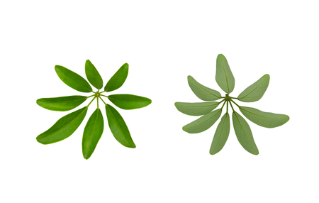 Green leaves pattern, Dwarf Umbrella Tree or Schefflera arboricola,isolated on white background Stock Photo
