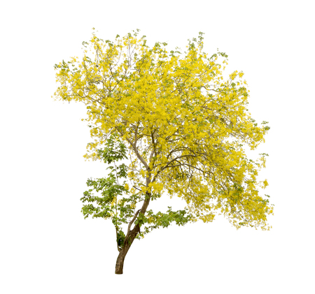 Golden Shower or Cassia Fistula isolated on white background,national tree of Thailand
