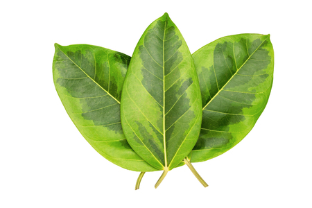 greenery: Green leaves pattern, autumn plant leaf isolated on white background,Caricature plant or Graptophyllum Pictum,Ficus Elastica Variegata Stock Photo