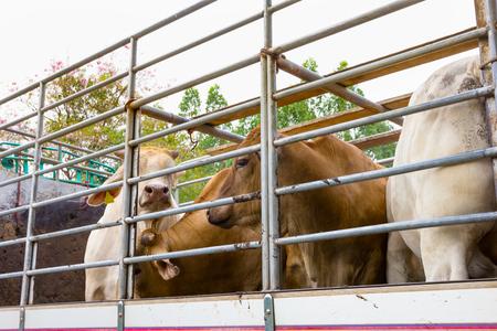 Trucktransport Rundvee Vee Koe vee Stockfoto