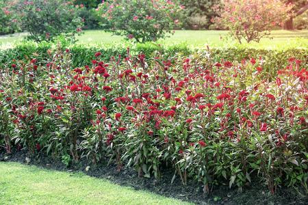Chinese Wool Flower In the garden,Celosia argentea L.Cockscomb