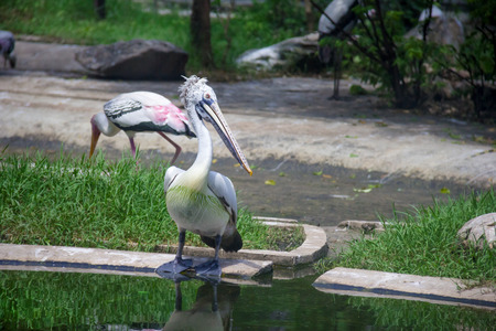 Spotted-billed Pelecan Bird on pond Stock Photo