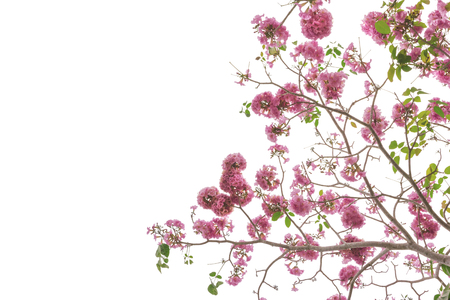 Pink trumpet tree or Tabebuia rosea isolated on white background