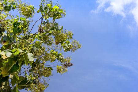 leaves of teak or Tectona grandis tree  Stock Photo