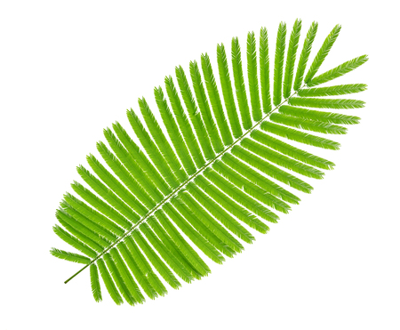 Green leaves pattern,leaf Climbing Wattle tree isolated on white background