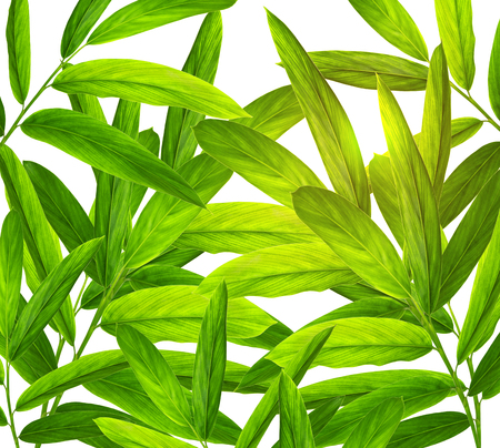 Green galangal leaves pattern isolated on white background
