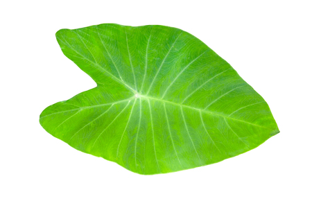 Green colocasia esculenta leaves pattern isolated on white background Stock Photo