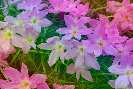 Zephyranthes grandiflora pattern,gradient color  Stock Photo