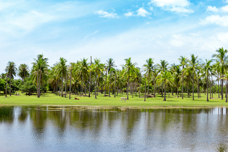 Coconut farm and reflection with  bright sky background.