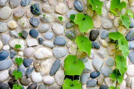 ivy with stone wall, Abstract background Stock Photo