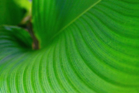 Green leaves texture,tropical leaf for nature background, Calathea lutea foliage tree