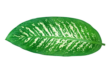 green leaves pattern of Dumb Cane foliage isolated on white background,leaf exotic tropical,include clipping path