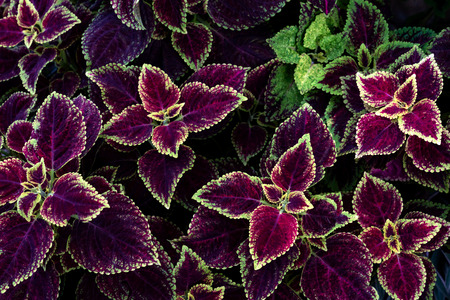 colorful leaves pattern,leaf coleus or painted nettle in the garden 免版税图像