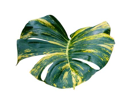 green leaves pattern of Epipremnum aureum foliage isolated on white background