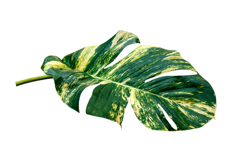 green leaves pattern of Epipremnum aureum foliage isolated on white background,leaf exotic tropical,include clipping path,Devils ivy, Golden pothos