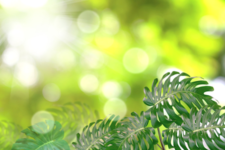 Green leaves pattern for summer or spring season concept,leaf of monstera with bokeh textured background Stock Photo