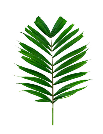 Green leaves pattern,tropical palm leaf isolated on white background Stock Photo
