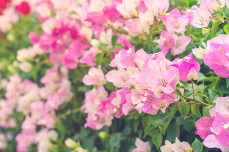 beautiful Bougainvillea flower for wallpaper texture and background