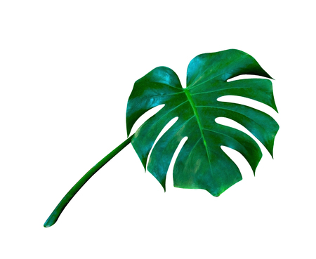 Green leaves pattern,leaf monstera isolated on white background,include clipping path Stock Photo