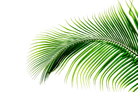 Green leaves pattern,leaf palm tree isolated on white background Фото со стока