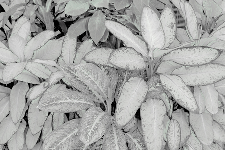 Black and white leaves pattern of Dumb Cane foliage in garden,leaf exotic tropical