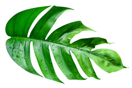 Green leaves pattern,leaf monstera isolated on white background,include clipping path Фото со стока