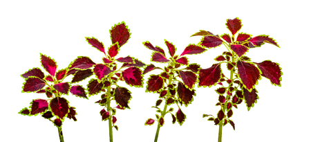 colorful leaves pattern,leaf coleus or painted nettle isolated on white background