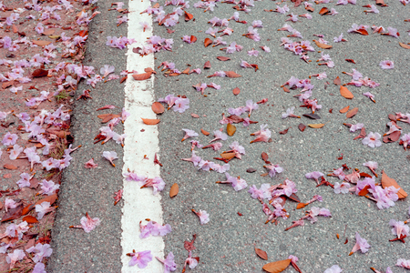 Pink trumpet flowers fall on the street.