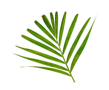 Green leaves pattern,leaf yellow palm tree isolated on white background