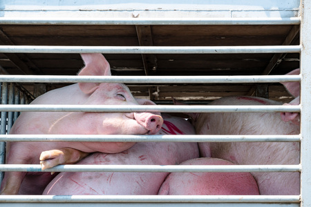 Truck transport pigs