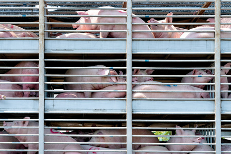 Truck transport pigs Stock Photo