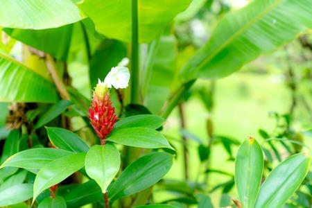 Costus speciosus or Indian Head Ginger in the garden