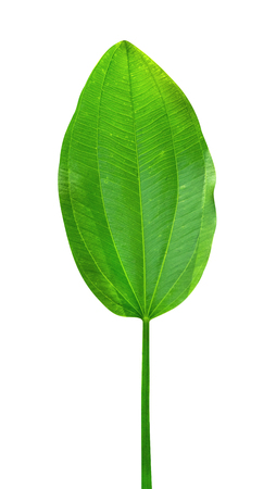 Green leaves pattern of tropical leaf plant isolated on white background,include clipping path
