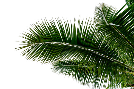 leaf coconut tree isolated on white background,Green leaves pattern