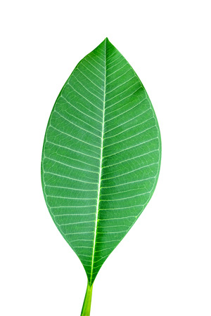 Green leaves pattern,leaf Frangipani or Plumeria,isolated on white background,include clipping path