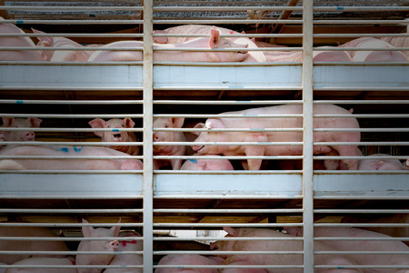 Truck transport pigs Banque d'images