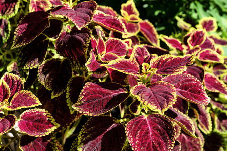 colorful leaves pattern,leaf coleus or painted nettle in the garden Stok Fotoğraf