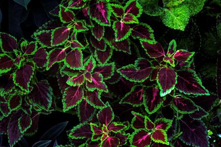colorful leaves pattern,leaf coleus or painted nettle in the garden Reklamní fotografie