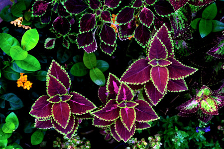 colorful leaves pattern,leaf coleus or painted nettle in the garden