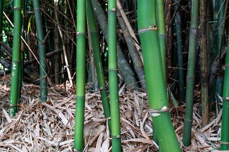 Green bamboo trunk in the garden