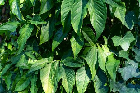 Green leaves pattern,leaf Syngonium podophyllum In the garden Stock Photo