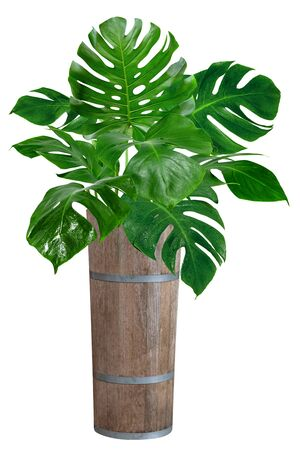 green monstera leaves pattern with wooden bucket for nature concept, tropical leaf isolated on white background 版權商用圖片