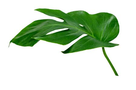 Green leaves pattern ,leaf monstera isolated on white background
