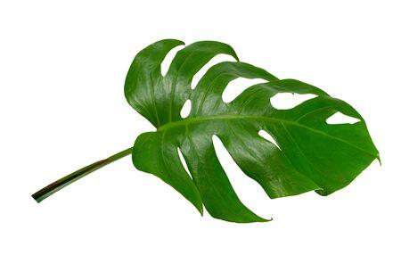 Green  leaf monstera isolated on white background 版權商用圖片