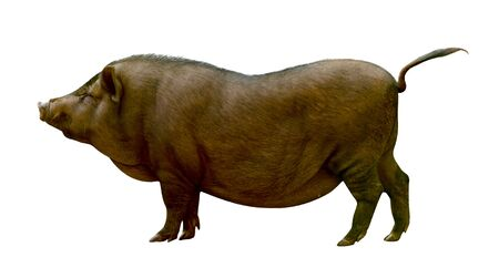 Brown pig isolated on white background